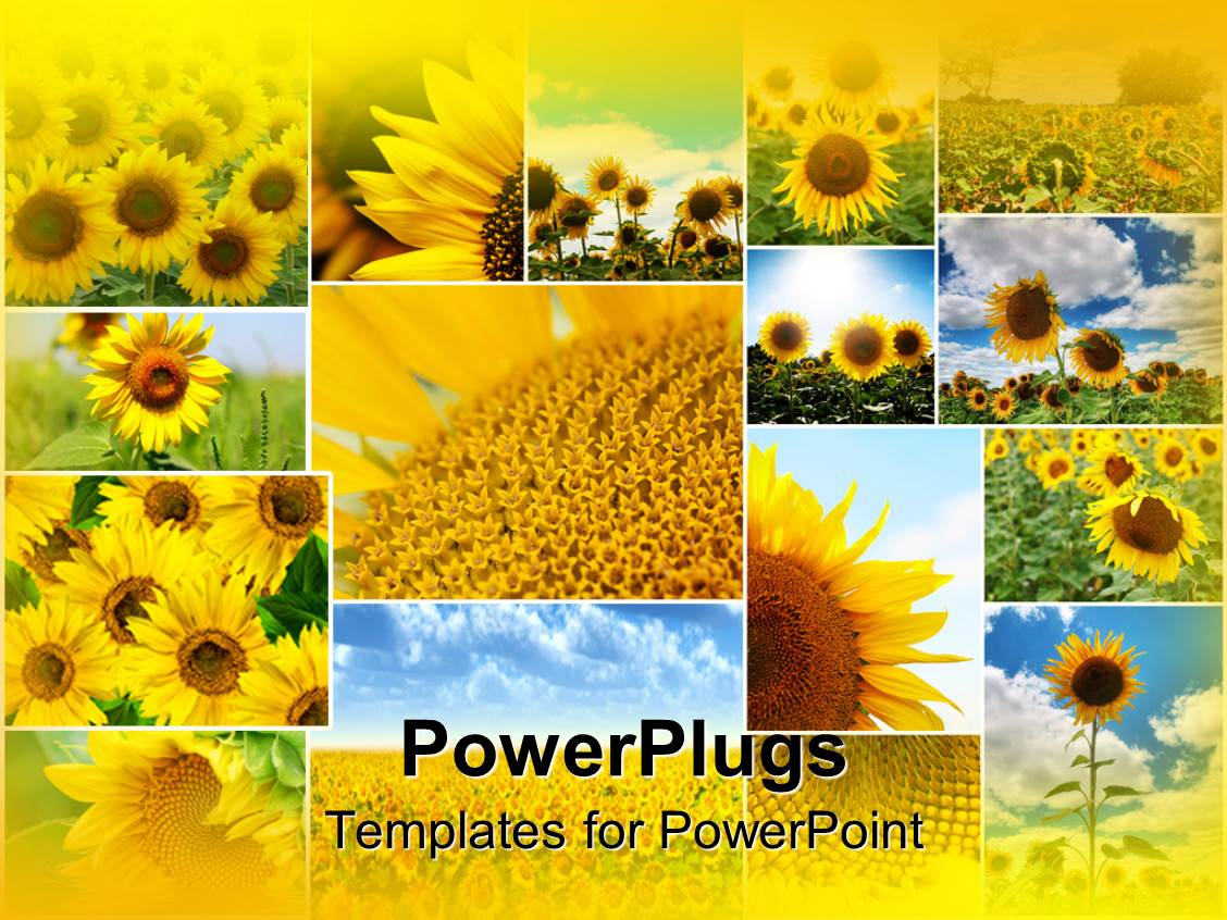 powerpoint template collage of sunflowers in various sizes some close up others with blue sky. Black Bedroom Furniture Sets. Home Design Ideas
