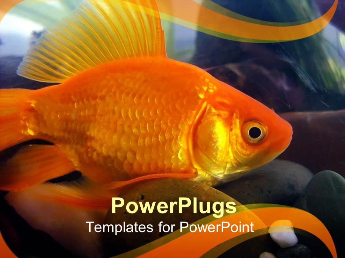 best fish powerpoint templates crystalgraphics powerpoint template displaying goldfish close up aquarium gold background