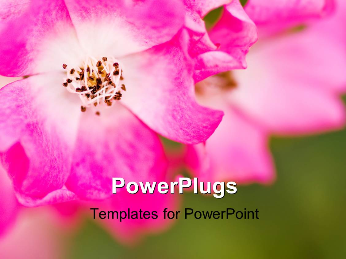 PowerPoint Template Displaying Pink Flower of Chrysanthemum with Green Garden